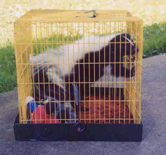 Skunk in a small bird cage