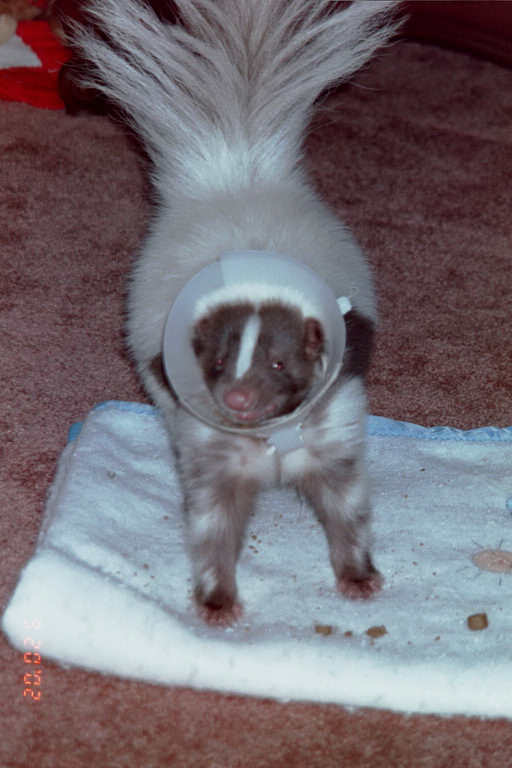 Photo of a skunk in an E-collar
