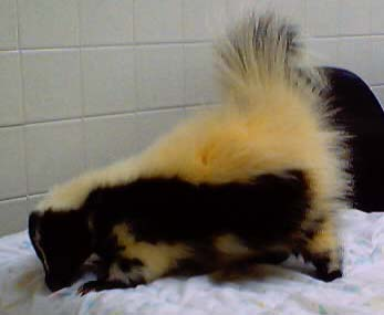 Before, note yellow fur