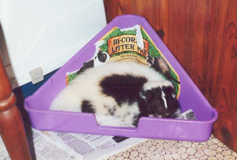 Skunk sleeping in litter pan