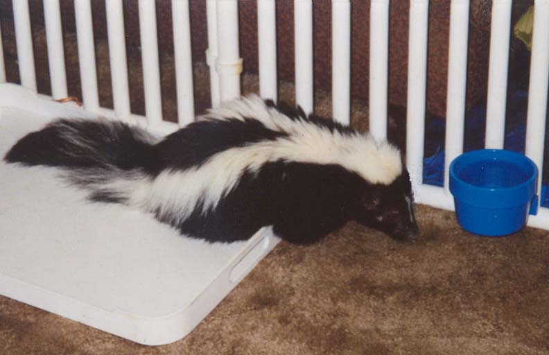 Malnurished skunk