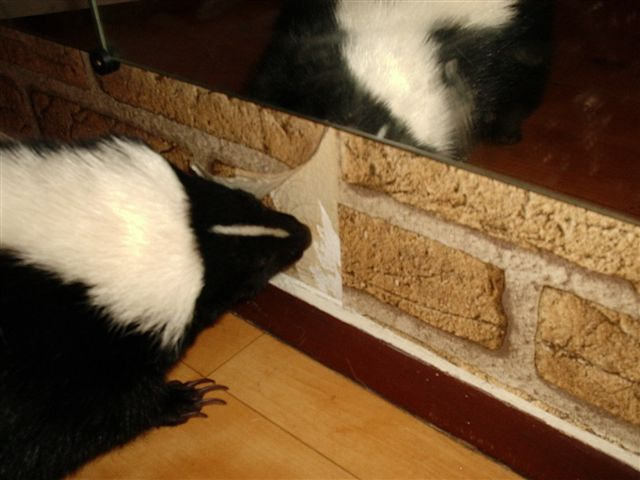Skunk pulling wall-covering