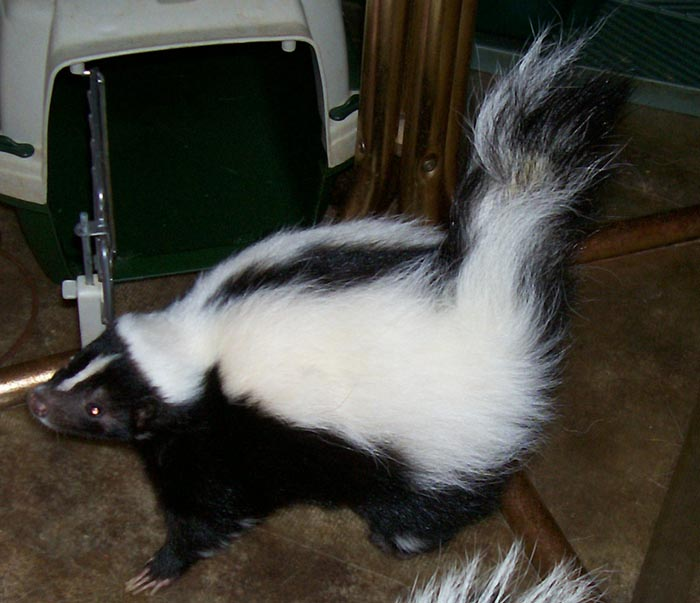 Skunk recovered from self-mutilation