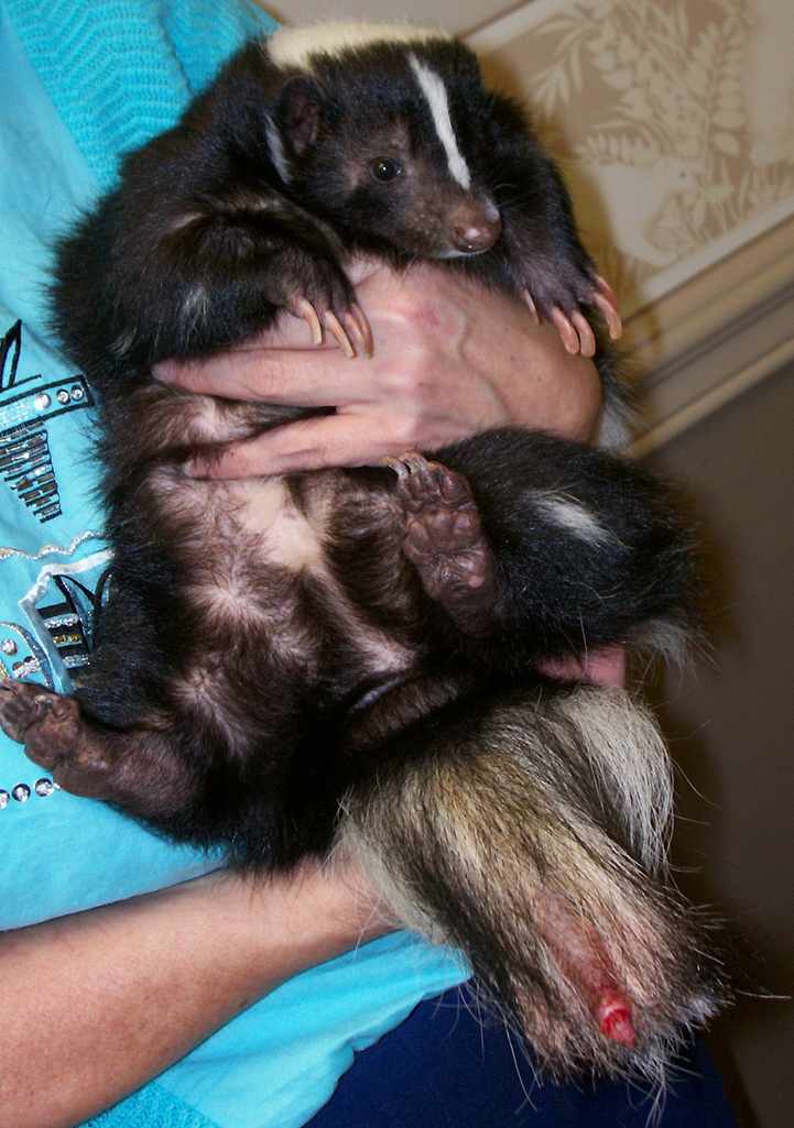 Skunk With Mutilated Tail