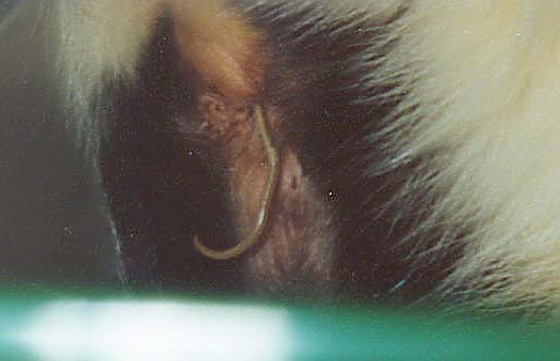 Roundworm being expelled.